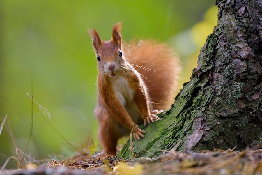 Image Écureuil l'écureuil roux d'europe : quelle panache ! - ici et là magazine